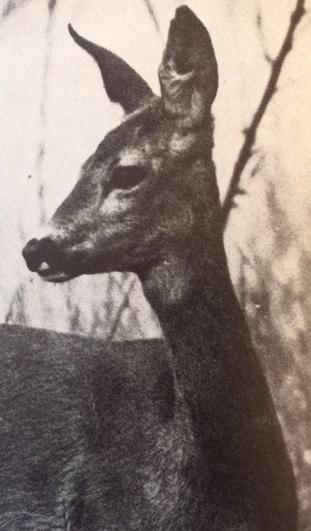 Őzselejtezés (Nimród, 1978. április)