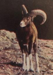 A muflonok hazájában (Nimród, 1983. január)