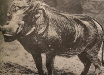 A világ vaddisznói (Nimród, 1978. december)