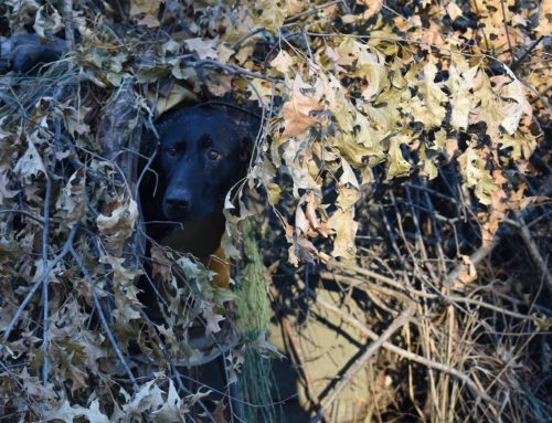 8 gyakorlat, amit még most elvégezhetsz, hogy a vadászkutyádat felkészítsd az őszre